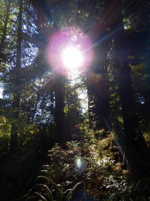 Sunlight streaming through redwoods, Revelation Trail, Prairie Creek State Park, California