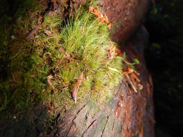 Moss on fallen tree, Lady Bird Johnson Grove, Redwoods National Park, California