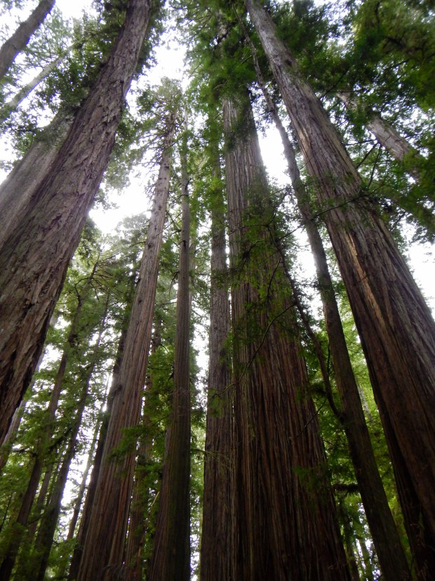 Redwoods in Stout Memorial Grove, Jedediah Smith State Park, California