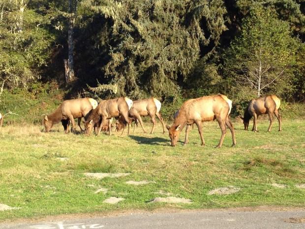 Roadside elk off Highway 101, California