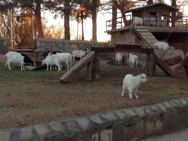 Goats, Cattleman's Steakhouse, Texas
