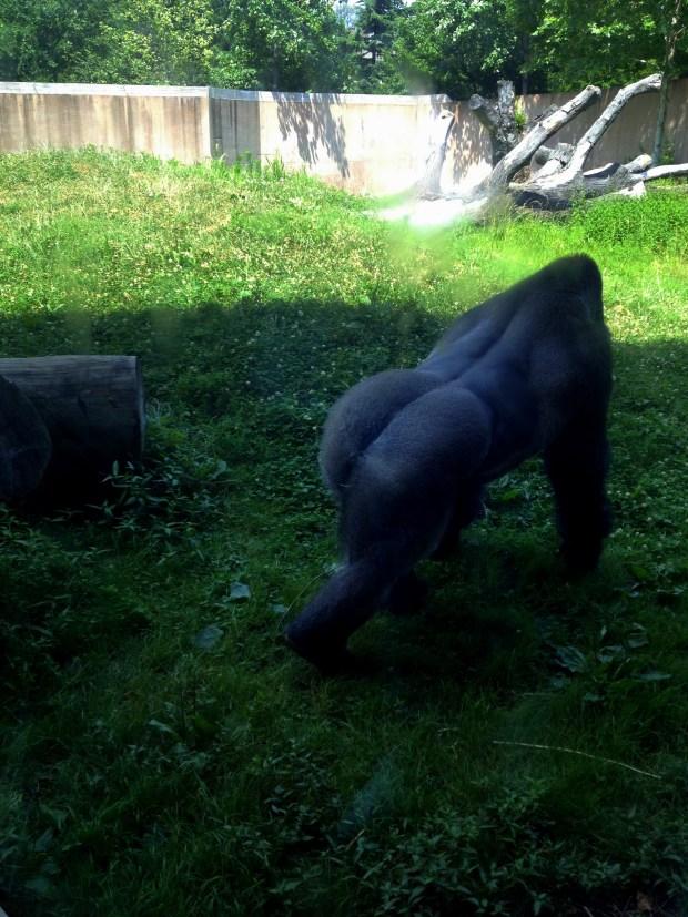 Gorilla, Philadelphia Zoo, Philadelphia, Pennsylvania