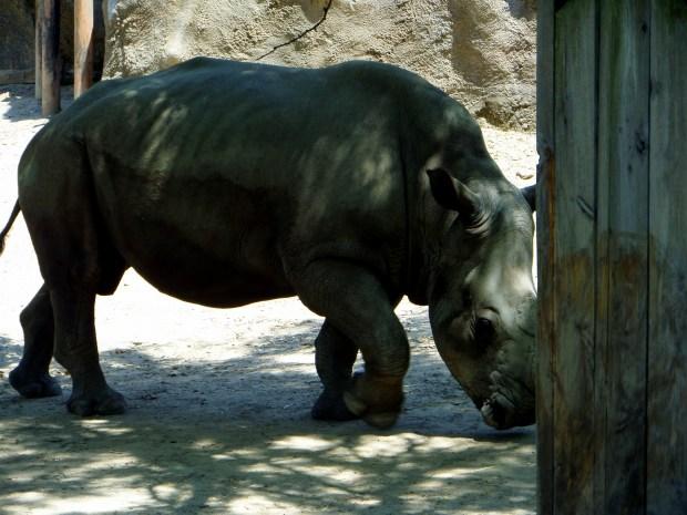 Rhino, Philadelphia Zoo, Philadelphia, Pennsylvania