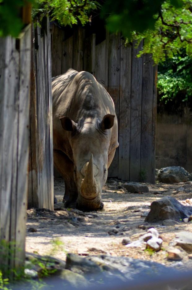Rhino, Philadelphia Zoo, Philadelphia, Pennsylvania (Picture by Tina)