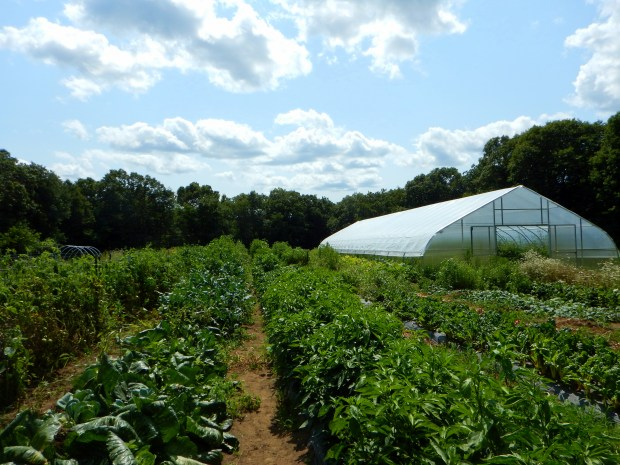 Veggies galore and a view of the greenhouse, Stonyledge Farm, Clarks Falls, Connecticut