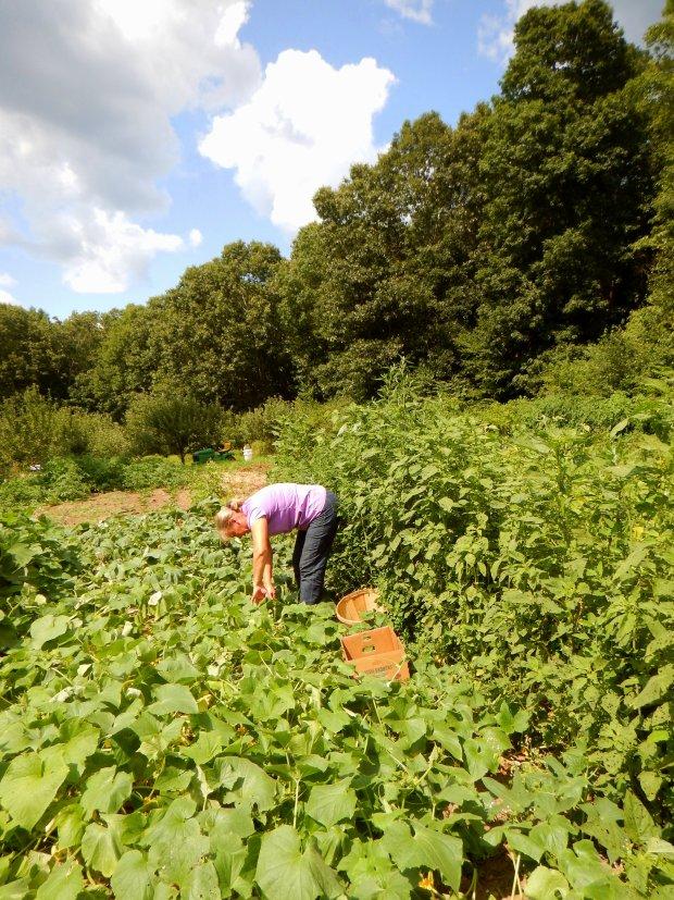 Belinda harvesting cucumbers, Stonyledge Farm, Clarks Falls, Connecticut