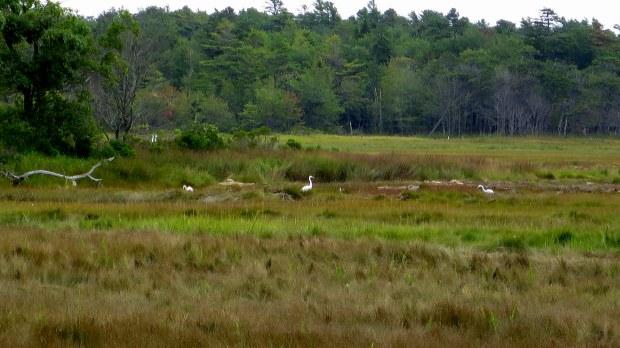 Egrets, Rachel Carson National Wildlife Refuge, Maine