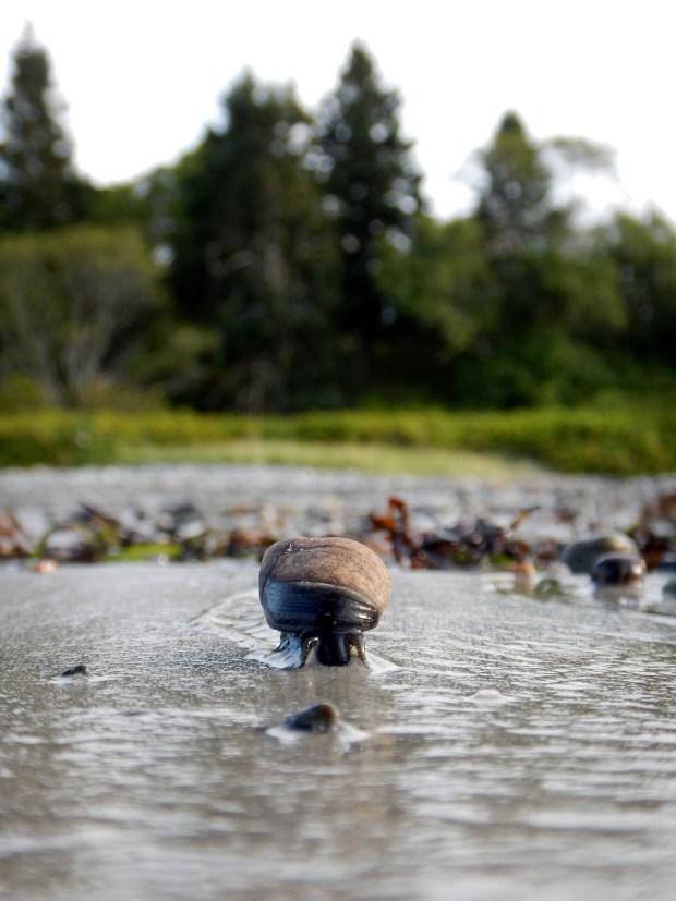 Snail, Roque Bluffs State Park, Maine