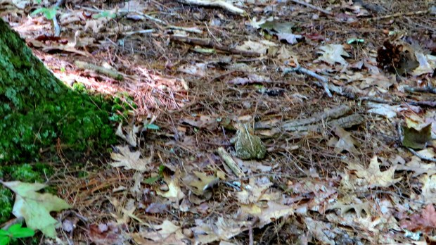 Blurry shot of a toad, Boundary Trail, Bradbury Mountain State Park, Maine