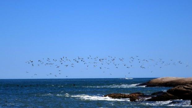 Birds in flight, Great Wass Island Preserve, Great Wass Island, Maine