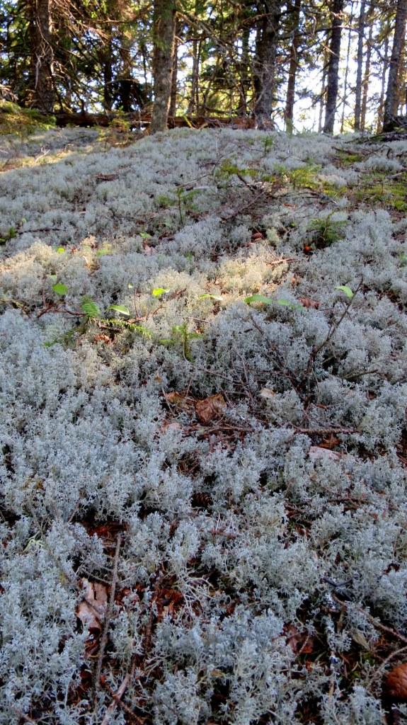 Fluffy white lichen, Great Wass Island Preserve, Great Wass Island, Maine