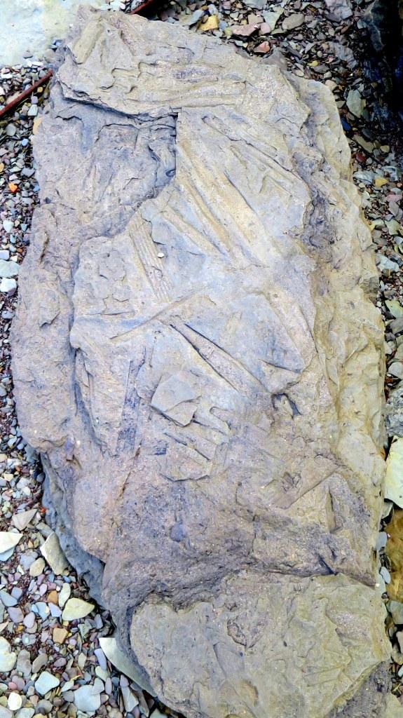 Sigillaria tree trunk, lepidodendron trunk, stigmaria, and more, Joggins Fossil Cliffs, Nova Scotia, Canada