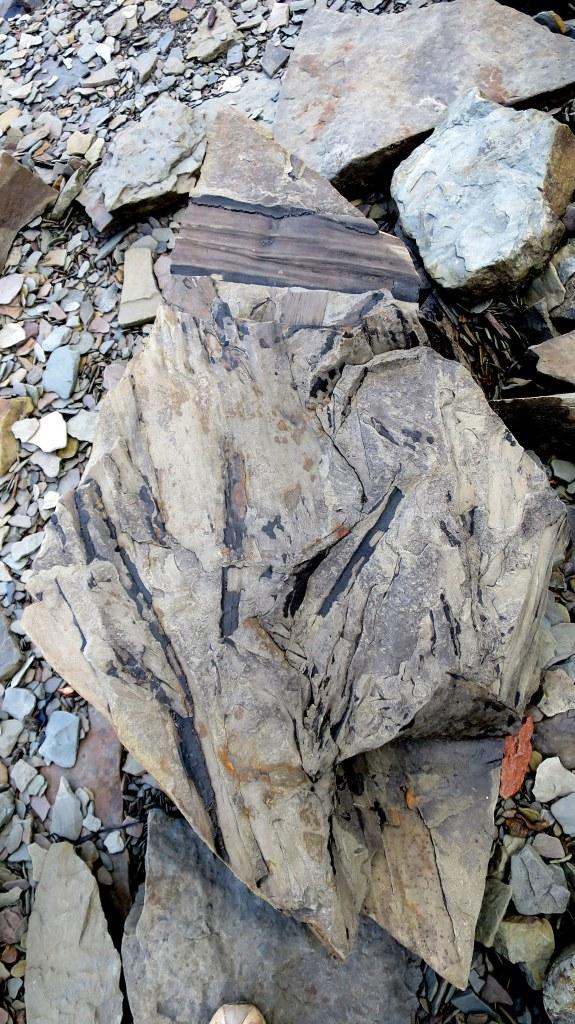 Cordaites leaves, Joggins Fossil Cliffs, Nova Scotia, Canada