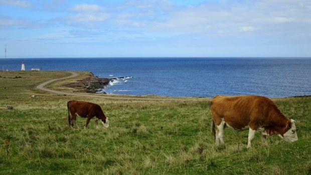 Cows grazing near Enragee Point Lightstation, Cheticamp Island, Nova Scotia, Canada