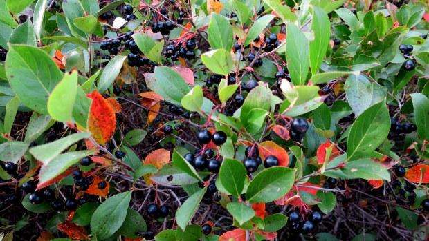 I think these are beach peas, Greenwich Beach, Prince Edward Island National Park, Prince Edward Island, Canada