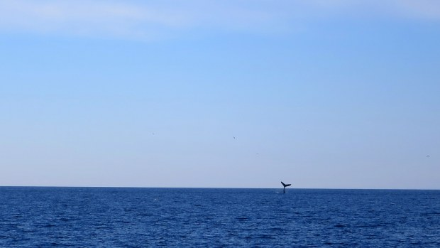 Distant humpback whale fluke, Bay of Fundy, Nova Scotia, Canada