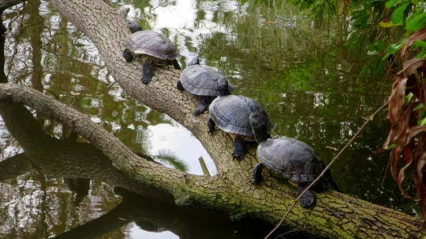 Turtles on a log (Yellow-Bellied Sliders), George C. McGough Nature Park, Largo Narrows, Florida