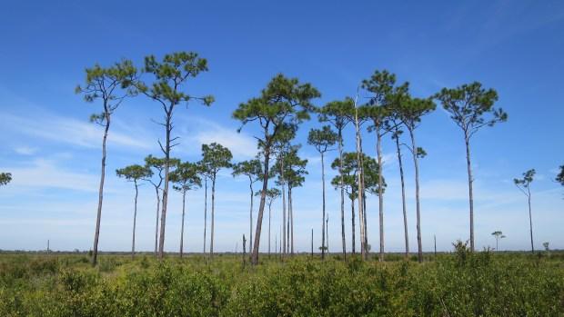 Loblolly pines in pineland habitat, Myakka River State Park, Florida