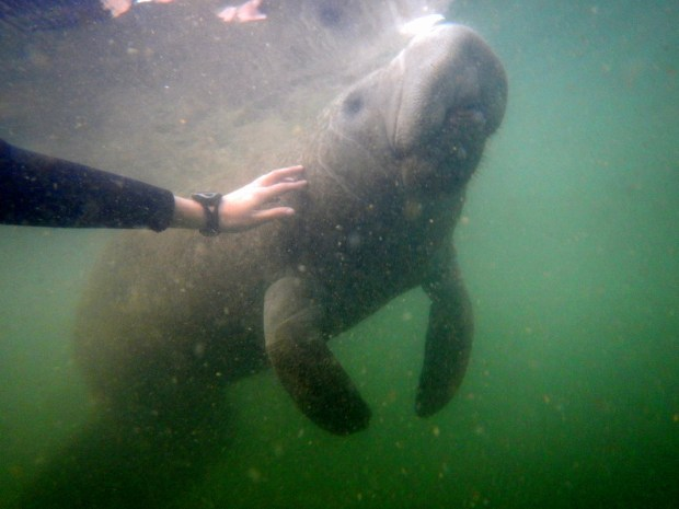 Manatee gliding past my arm to the surface, Crystal River National Wildlife Refuge, Florida