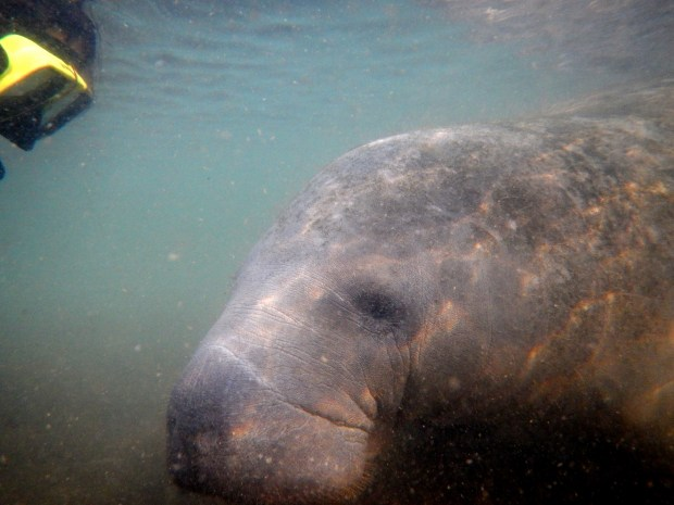 This manatee was just lookin, Crystal River National Wildlife Refuge, Florida