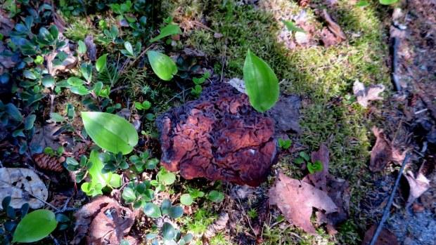 Brain mushroom, Coastal Trail, Lake Superior Provincial Park, Ontario, Canada