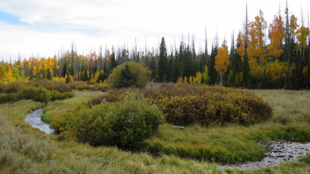 Yellow aspens around a meadow, Dixie National Forest, Utah