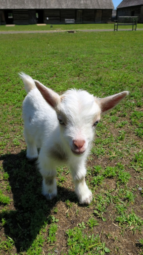 Baby goat, Fort William Historical Park, Ontario, Canada