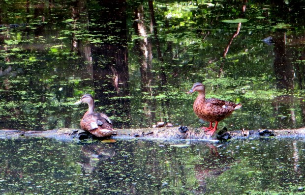 Ducks at Rockefeller State Park Preserve, New York