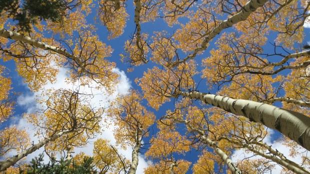 Golden aspens on the Marathon Trail, Dixie National Forest, Utah