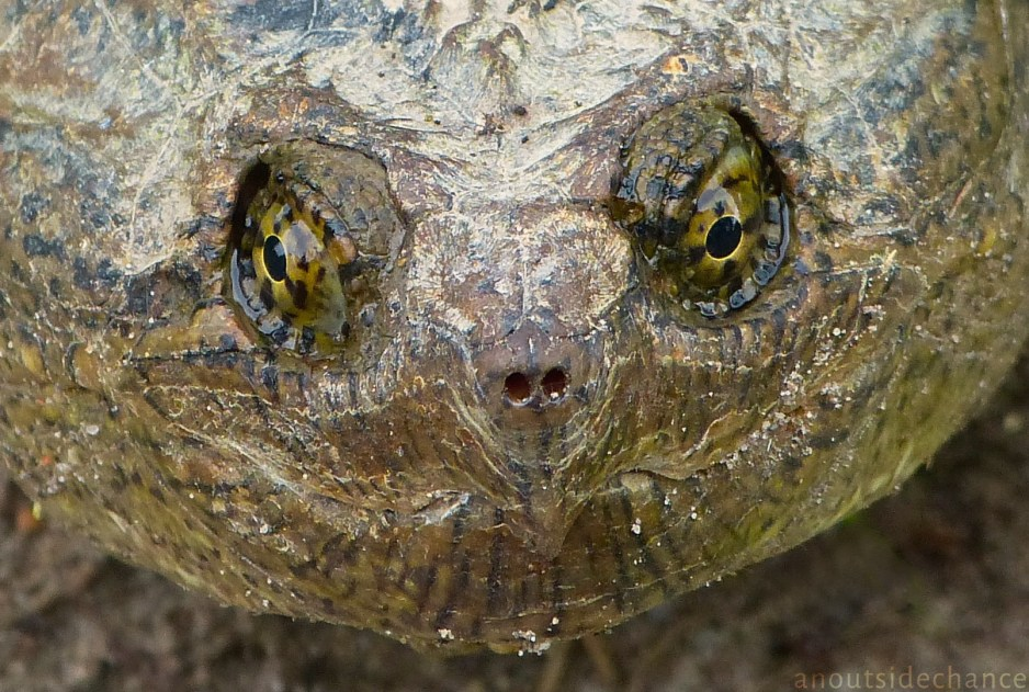 Snapping Turtle, Bowmanville Marsh