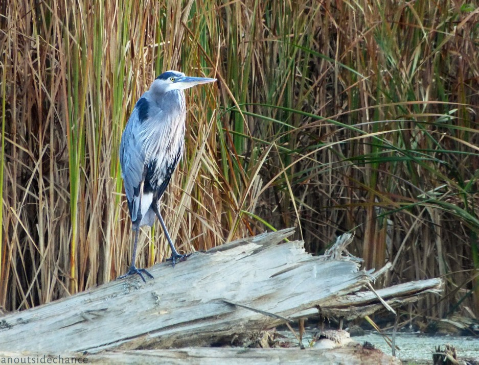 Great Blue Heron, Bowmanville Marsh