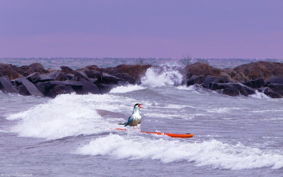 Common Tern on paddle board