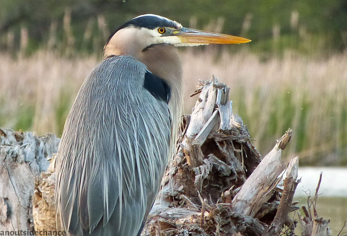 Great Blue Heron in Bowmanville Marsh