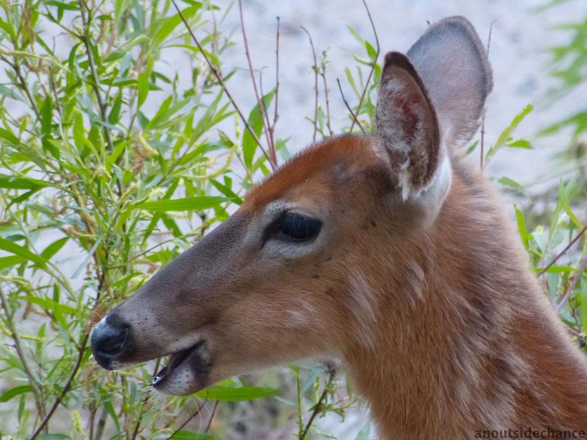 Deer on beach at Port Darlington