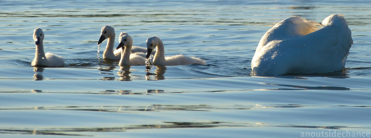 Swan and cygnets in Bowmanville Marsh