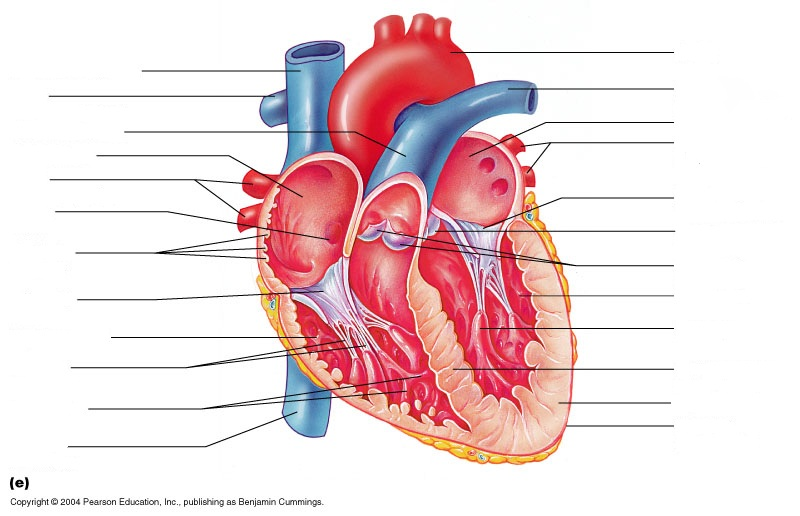 anterior heart diagram unlabeled 3 phase ac wiring anatomy work october 1