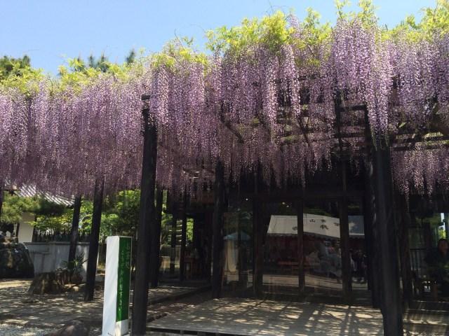 藤井寺の藤祭1(2015年)