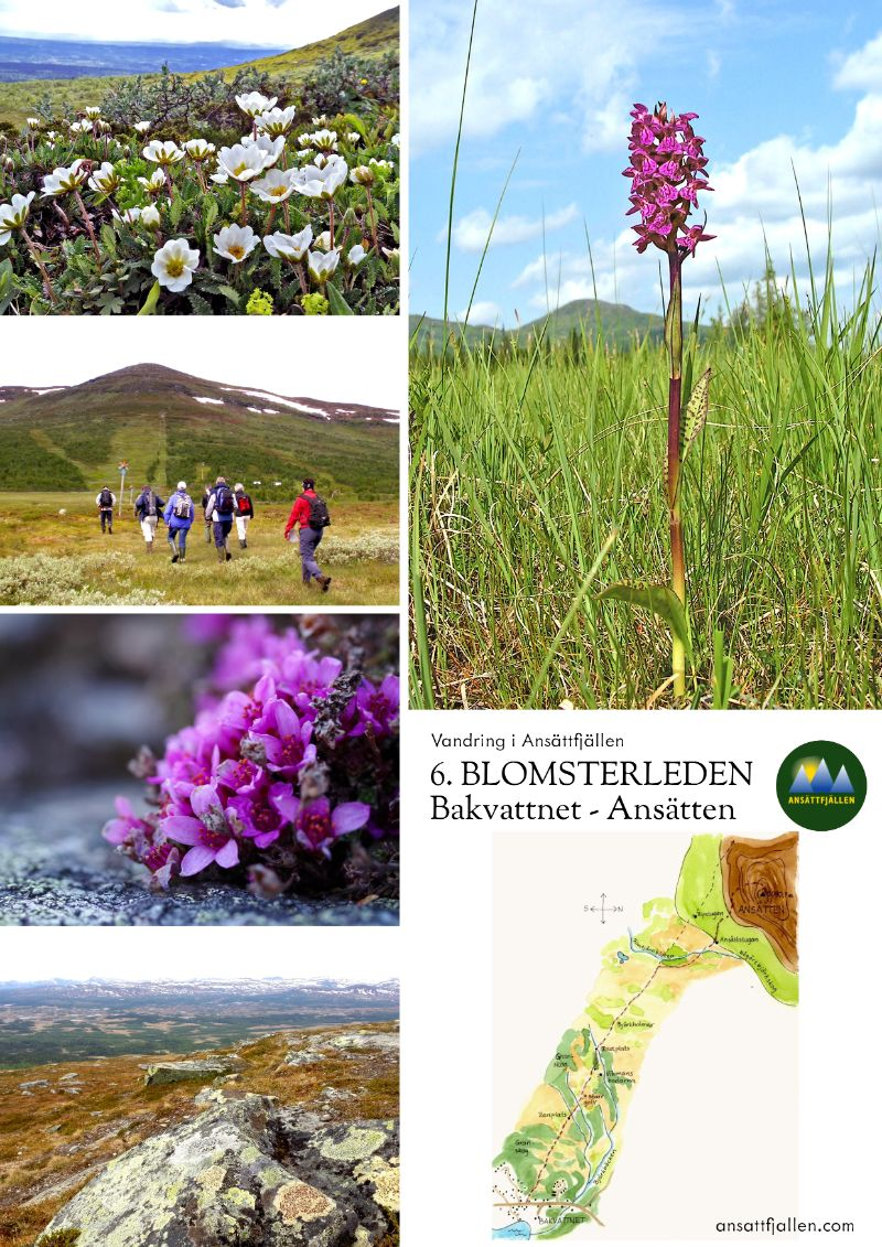 Vandringsleden Blomsterleden mellan byn Bakvattnet och blomsterfjället Ansätten.