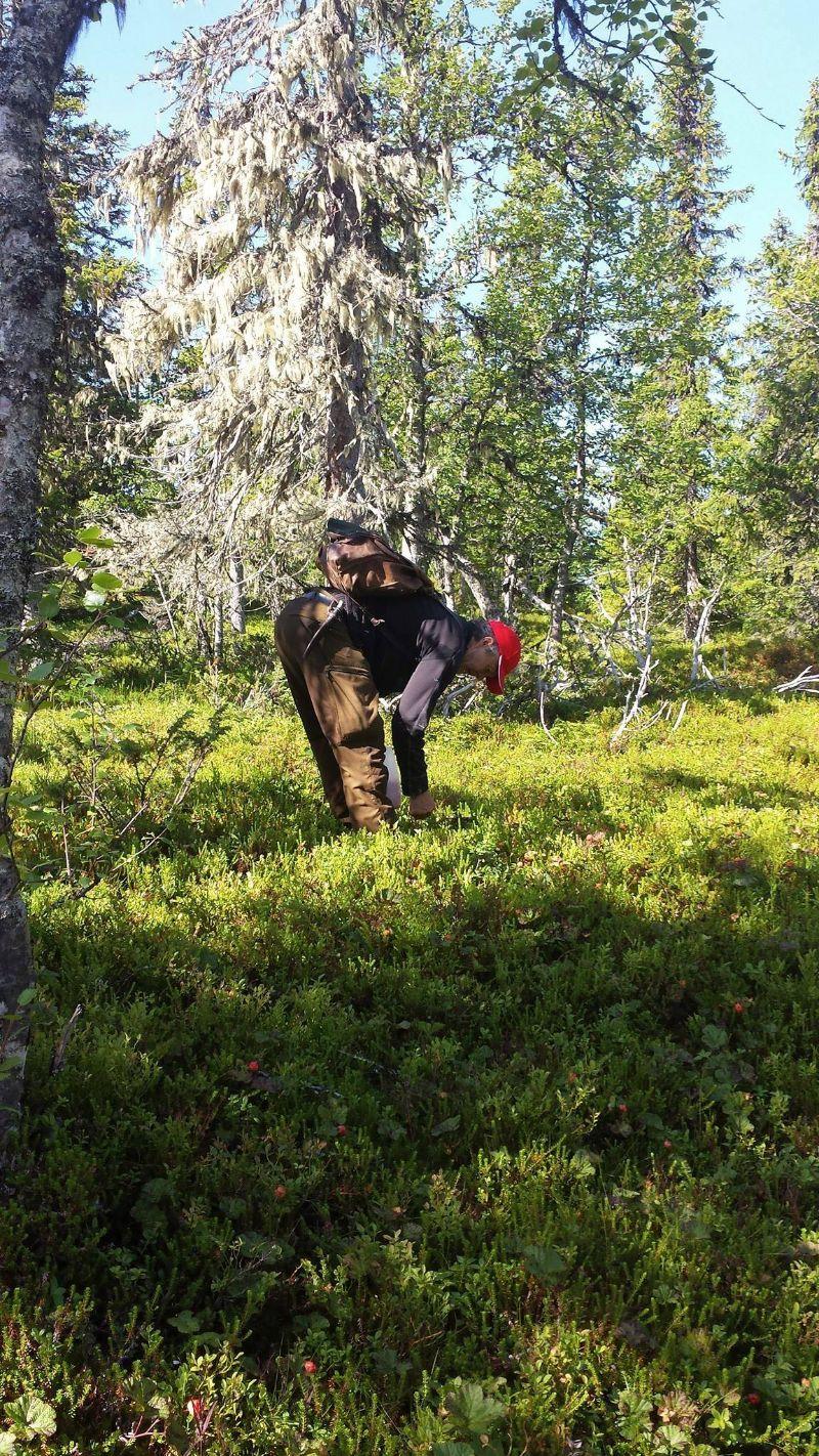 Hjortronplockning. Foto © Maritha Grelsson.