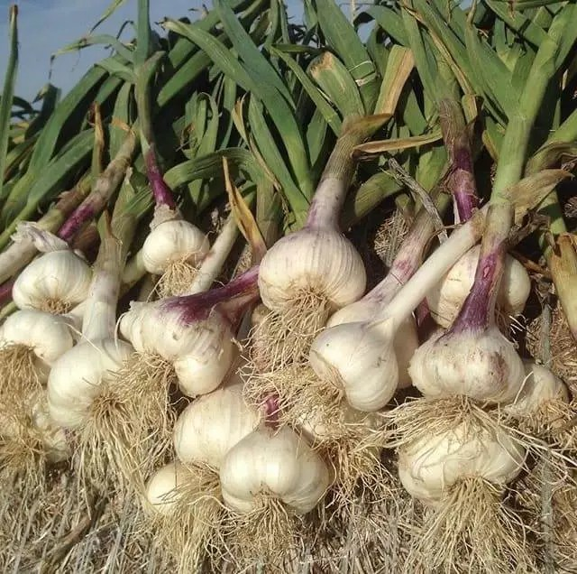 Garlic About Ansel's Awesome Sauce