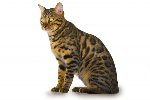 「かっこいい」がキーワード!思わず惚れてしまう猫の種類