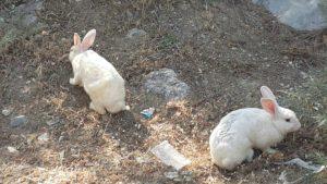 Şirin Tavşanlar - Piknik alanında insanlardan kaçmıyorlar