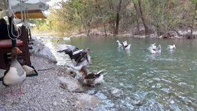 Ördeğin kanat çırpışı - Ağır Çekim