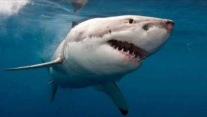 Köpek Balığı - Köpek balıkları hakkında bilgi video açıklamasında