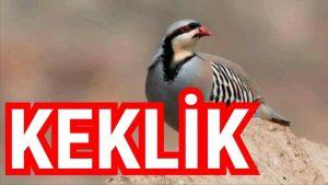 Keklik - Keklikler hakkında bilgi keklik türleri
