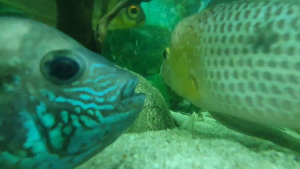 Ciklet Balıkları Akvaryum Seyret