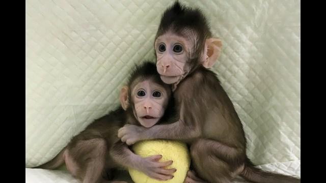 İnsan klonlama gerçekleşti mi ? Klonlanmış maymun var mı ?