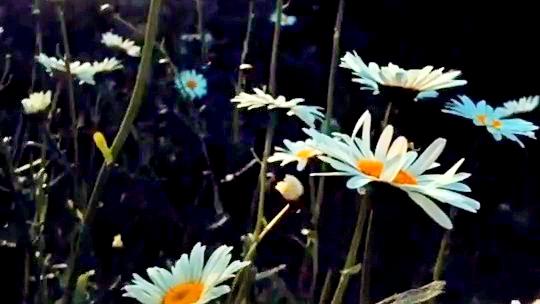 papatyalar papatya çiçekler