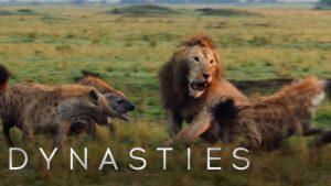Sırtlanların arasında kalan aslan kurtulabilir mi ?