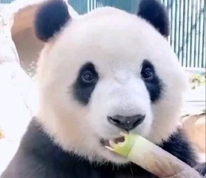 Sevimli pandanın iştahı (video)
